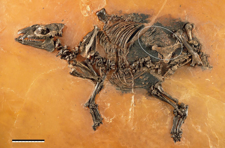 archeologie boz foetus paardachtige